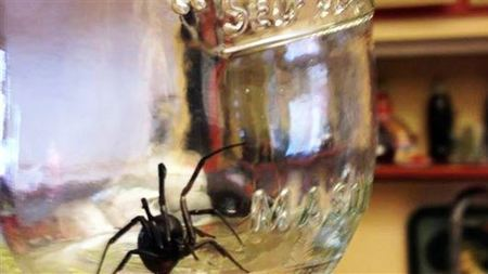 Black widow spiders swarm northern Utah - Standard-Examiner | Spiders | Scoop.it