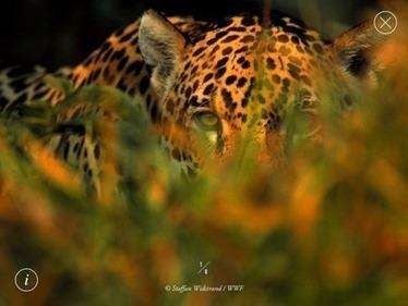 Wonderful WWF Together App Adds New Jaguar Stories | Leadership in Primary Education | Scoop.it