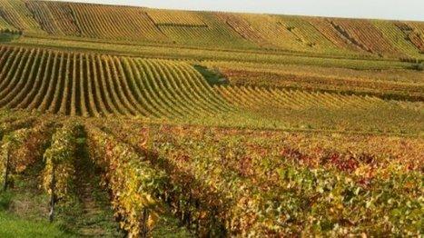 La Champagne invente les cépages du futur. | Vos Clés de la Cave | Scoop.it