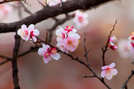 Best Places to Celebrate Cherry Blossoms | Human Geography | Scoop.it