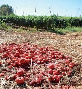 Agriculture : un insecte ravage les champs de tomates en Algérie | EntomoNews | Scoop.it