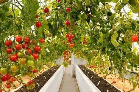 Δώδεκα φυτά που αξίζει να καλλιεργήσετε δίπλα στις ντομάτες σας | Γεωπονικά | Scoop.it