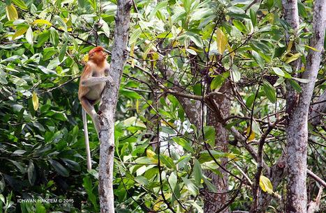 Photo 181   BEKANTAN -WILD INDONESIA   Bekantan - Wild Indonesia   Scoop.it