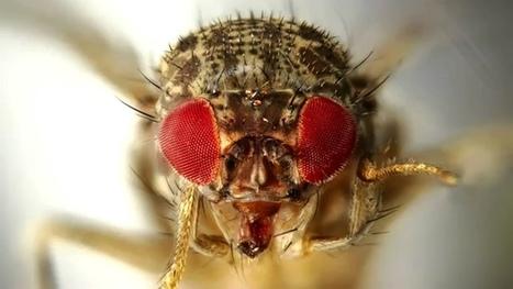 La drosophile, la mouche star de la recherche | EntomoScience | Scoop.it