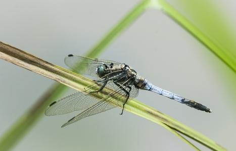 Une nouvelle espèce de libellule pour la Belgique découverte près de Rochefort   EntomoNews   Scoop.it