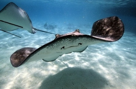 Stingrays' Weird Swimming May Inspire New Submarine Designs | Biomimicry | Scoop.it