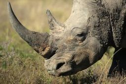 Eight years for selling rhino horns  | RHINO BIOLOGY & CONSERVATION | Scoop.it