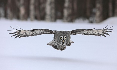Secret of Owls' Silent Flight Revealed by Scientists | Biomimicry | Scoop.it