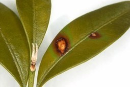 N.C. State scientists work to stop the spread of boxwood blight | CALS News Center | News from the College of Agriculture and Life Sc..., NCSU | Research from the NC Agricultural Research Service | Scoop.it