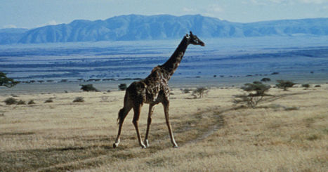 How the Giraffe Got Its Neck - The New Yorker | Sunday Reads | Scoop.it