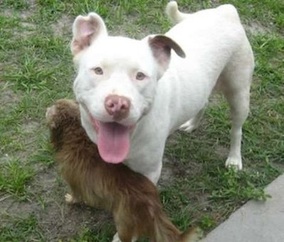 Pit Bull Carries Chihuahua to Safety | Funny Is Fun | Scoop.it