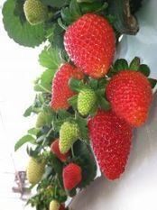What's Up UA? - Growing Hydroponic Strawberries in the Desert | Explore News (Marana, AZ) | CALS in the News | Scoop.it