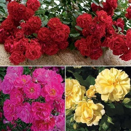 Ground Cover Rose Collection | My Garden- Spring Hill Nursery | Scoop.it