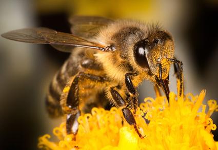 Bee-killing pesticides may also harm human brain development | Interesting Reading to learn English -intermediate - advanced (B1, B2, C1,) | Scoop.it