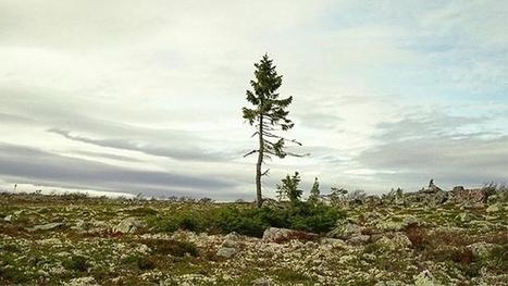 Así es el árbol vivo más viejo del mundo: 9550 años | Reflejos | Scoop.it
