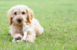 Grooming a Labradoodle   Informative Sites about Labradoodle   Scoop.it