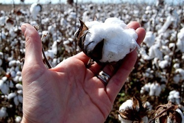 Chinese-led boom for cotton seed exports - Agriculture - Cropping - Cotton - Stock & Land | Year 8 Economics and Business: Exporting to Asia | Scoop.it