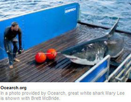 GPS Tracking Device Pings Great White Shark Mary Lee | Real Time GPS Tracking Devices | Scoop.it