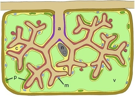 Frontiers in Plant Traffic and Transport: How membranes shape plant symbioses: signaling and transport in nodulation and arbuscular mycorrhiza (2012) | Plant-Microbe Symbioses | Scoop.it