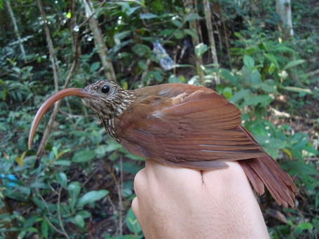 15 New Bird Species from the Amazonian jungle | WWWBiology | Scoop.it