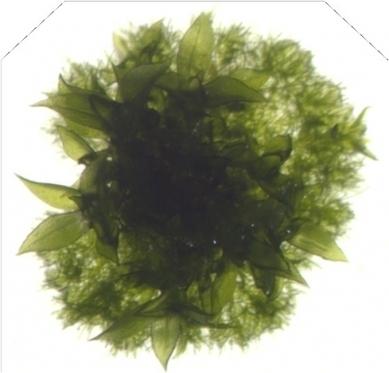 Large DNA viruses in mosses | Plant Molecular Farming | Scoop.it
