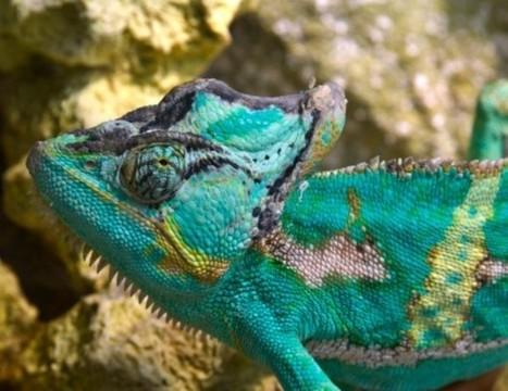 Así cambian de color los camaleones | Ciencias de la vida | Scoop.it