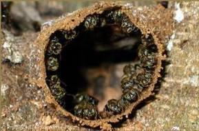 Anuncian puesta en marcha de un proyecto para el rescate y crianza de la abeja melipona | Miel Melipona | Scoop.it