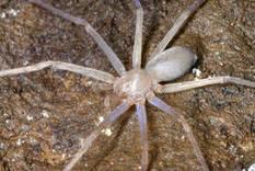 Surprenant : Sinopoda scurion, l'araignée sans yeux du Laos | Nature insolite | Scoop.it