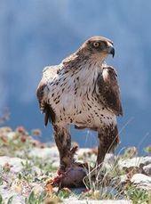 La LPO Rhône-Alpes et ERDF s'associent pour préserver l'Aigle de Bonelli dans les gorges de l'Ardèche | Les manifestations en France | Scoop.it