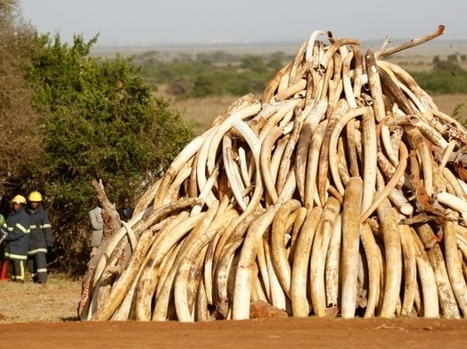 Africa in Transition » The Danger of False Narratives: Al-Shabaab's Faux Ivory Trade | Wildlife Trafficking: Who Does it? Allows it? | Scoop.it