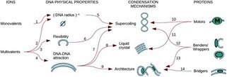 Electrostatics of DNA compaction in viruses, bacteria and eukaryotes: functional insights and evolutionary perspective - Soft Matter (RSC Publishing) | Systems biology and bioinformatics | Scoop.it