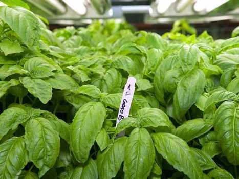 Chicago Company Has Found The Secret To Growing Vegetables Without Dirt | Vertical Farm - Food Factory | Scoop.it