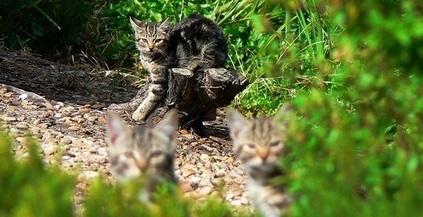 L'Australie veut se débarrasser de ses chats sauvages - Wamiz | Australie | Scoop.it