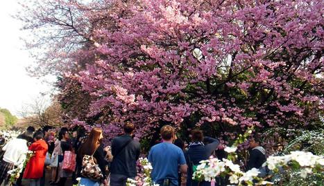 Tokyo Sakura 2014: Shinjuku Gyoen National Garden | JapanxHunter | Tokyo Japan Lifestyle, Food & Drinks! | Scoop.it