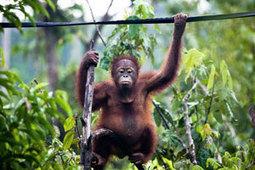 Orangutan Facts | Effective use of ICT in the classroom | Scoop.it
