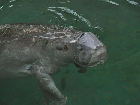 Rescued dugong relocated to waters off Brisbane | The New Daily | Whale and dolphin management | Scoop.it