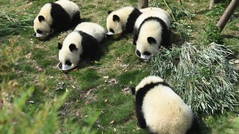 10 suspected poachers arrested for killing giant panda in China | Wildlife Trafficking: Who Does it? Allows it? | Scoop.it