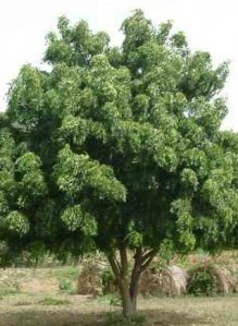 "N is for Neem – the ""Wonder Tree"" 