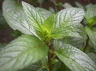 L'huile essentielle de menthe poivrée | Huiles Essentiels | Scoop.it
