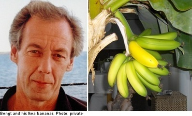 Ikea bananas sprout in Swede's living room | Quite Interesting News | Scoop.it