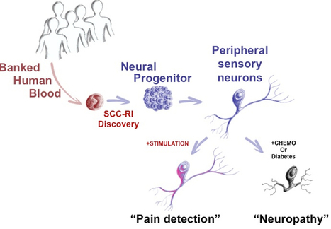 Converting blood stem cells to sensory neural cells to predict and treat pain | KurzweilAI | Longevity science | Scoop.it