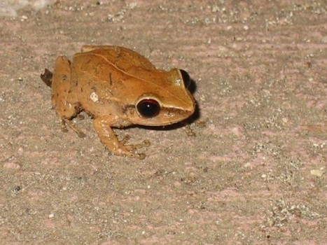 Frog Whisperer Helps Keep Hawaii's Coqui Population Under Control | Strange days indeed... | Scoop.it