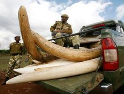 Elephant ivory could be bankrolling terrorist groups | Wildlife Trafficking: Who Does it? Allows it? | Scoop.it
