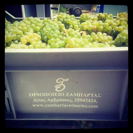 It's here! The 1st grapes are in. The 2013... | Wine Cyprus - A Nature of Wine | Wine Cyprus | Scoop.it