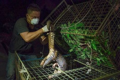 Man fined RM25,000 for having pangolins - Nation   The Star Online   Let's End Poaching   Scoop.it