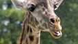 Toronto Zoo announces death of 30-year-old giraffe   Canadian News   Scoop.it