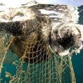 Cousteau pide a México proteger la tortuga caguama - Excélsior | Derecho ambiental | Scoop.it