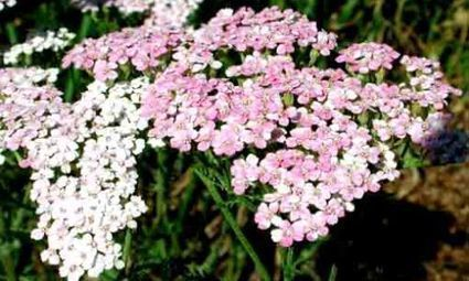Le piante della salute: l'achillea | fiori e piante, curiosità e notizie | Scoop.it