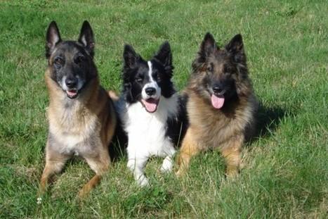Comprendre pour aimer et rendre heureux son chien - Education canine Alsace - letoiledesbergers.com | Educateur canin en Alsace - Etoile des bergers | Scoop.it