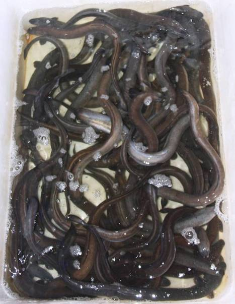 Indonesia eel hot item for smugglers | All about water, the oceans, environmental issues | Scoop.it